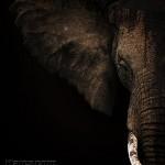 PHOTO PICTURE AFRICA TANZANIA WILDLIFE ANIMALS ELEPHANT
