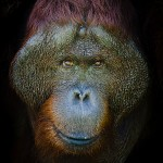PHOTO PICTURE INDONESIA KALIMANTAN BORNEO ANIMAL ORANGUTAN